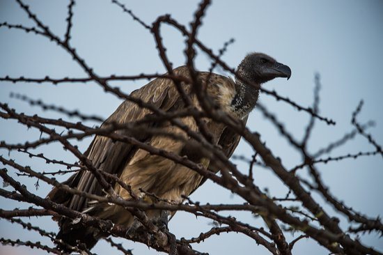 Mara Triangle: a vulture awaiting its moment from the lions kill