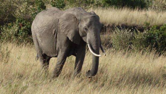 Mara Triangle: elephant roaming at the mara