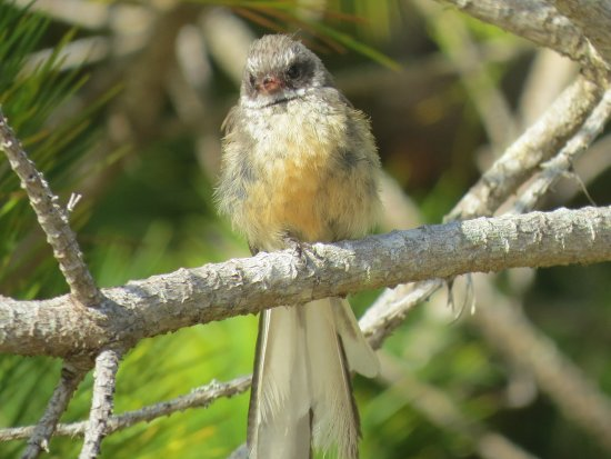 New Zealand Fantail Picture Of Ulva S Guided Walks Stewart Island Tripadvisor Are you a member of the fantail fan club? sorry, i couldn't resist 😉. tripadvisor