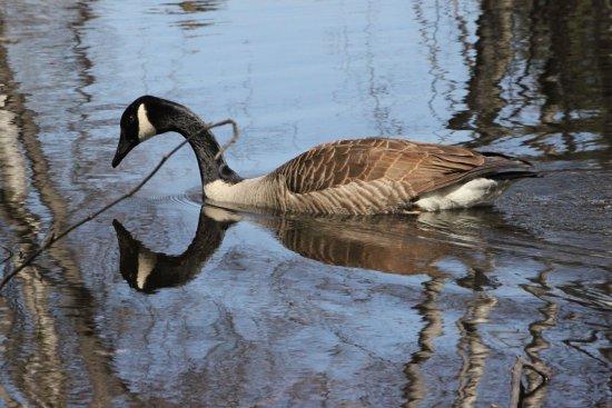 Saint-Francois-du-Lac, Canada: Outarde sur l'étang