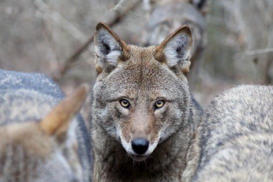 South Salem, Estado de Nueva York: Red wolf