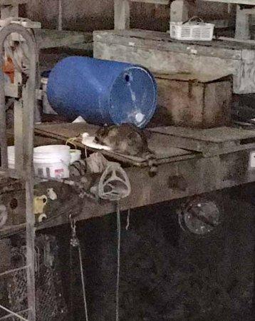 Scoma's Pier 47 raccoon