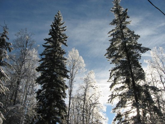 Wells Gray Provincal Park, Canada: Towering Pine trees and brushy birch winter scenery