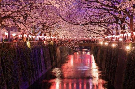 Kväll Hanami (Cherry Blossom ...