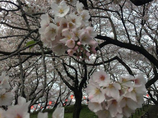 Satte, Japon : 木が若く花がいっぱい