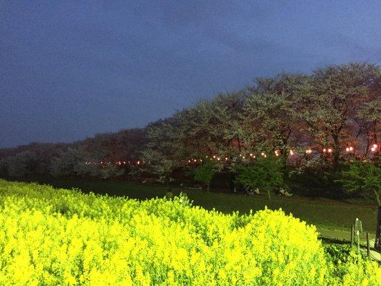 Satte, Japon : 菜の花畑から桜を見る