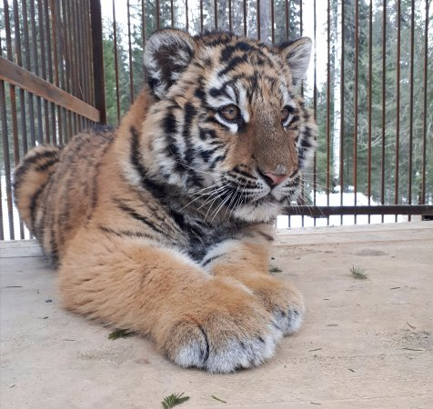 Artybash, Russland: тигренок Амир