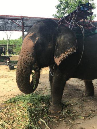 Kinnaree Elephant Trekking Tours: elephants tied in chains! i don't know if this is right or wrong its just sad!