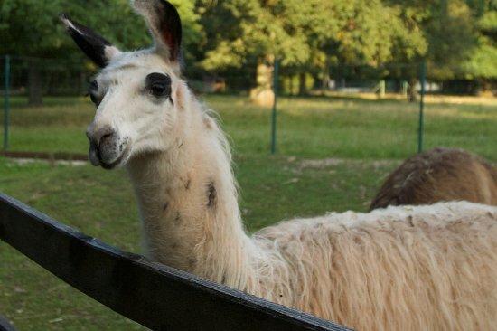 Heroldsbach, เยอรมนี: Die sanftmütigen Lamas freuen sich über jeden Besucher.