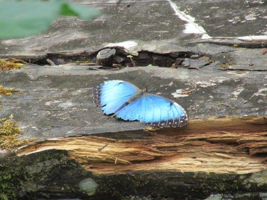 Poas Volcano National Park, Costa Rica: the elusive blue buterfly