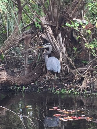 Everglades Area Tours : We learned about the great blue heron