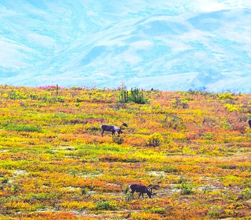 Denali: Fall colors in full bloom - late August.  Couple of caribou enjoying the foliage.