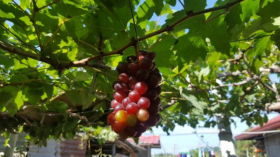 Orpilla-Estigoy Grapes Farm: 20180101_135758_large.jpg