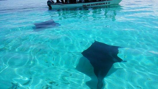 Koror Island, Palau: マンタに遭遇
