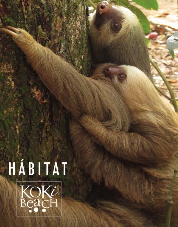 KOKi Beach Restaurant & Bar: A family of sloths live in the tree canopy above the restaurant.They often come down visiting di