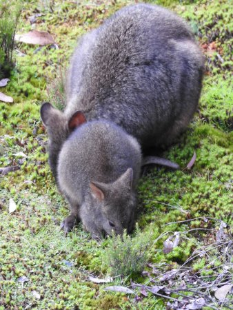 Cradle Mountain Hotel: Morning Visitor