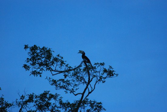 Borneo Nature Lodge: Local Wildlife, Hornbill high up a tree!