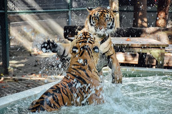Mae Rim, Thailandia: Our tigers love to play in their pools to have fun and cool down!
