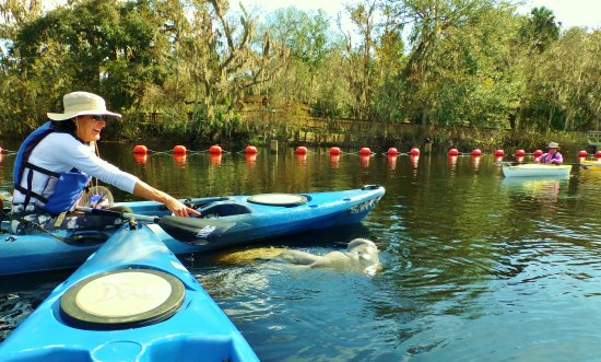 Orange City, FL: Experience the Florida manatee in it's natural environment. Orlando Kayak Tours!