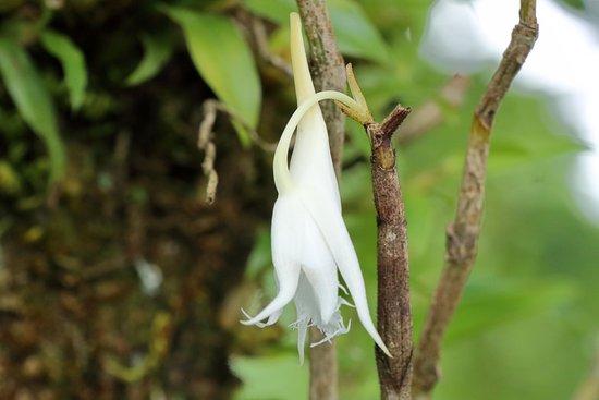 orchidee nepal