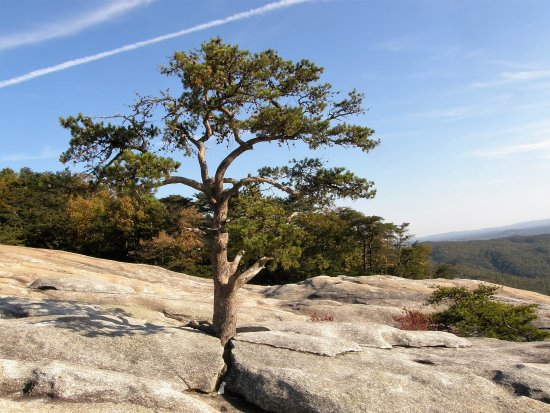 Roaring Gap, NC: Hardy trees find their home on the granite face of Stone Mountain.