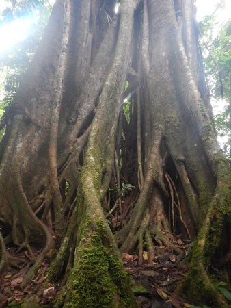 San Vito, Costa Rica: Strangler fig on the Rio Java Trail