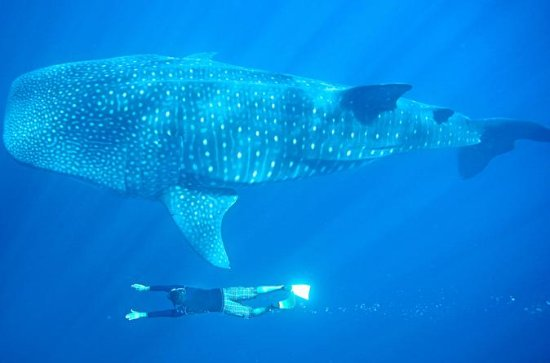 Full-Day Whale Shark Experience from ...