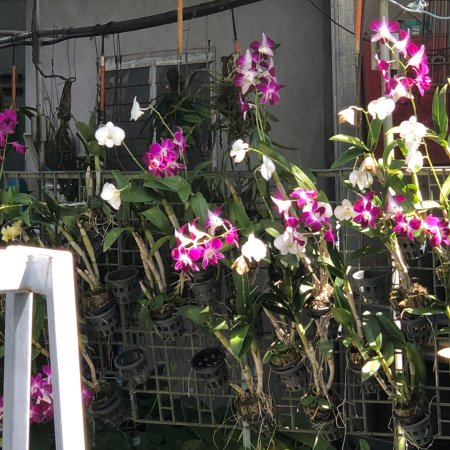 Phuket Orchid Farm : photo3.jpg