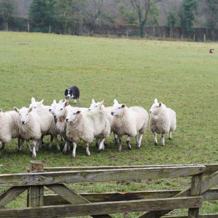 Irish Working Sheepdogs: photo1.jpg