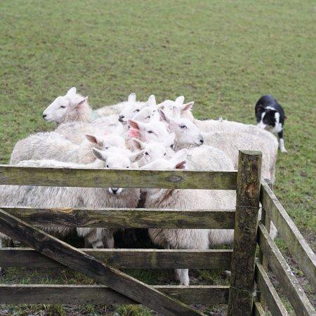 Irish Working Sheepdogs: photo3.jpg