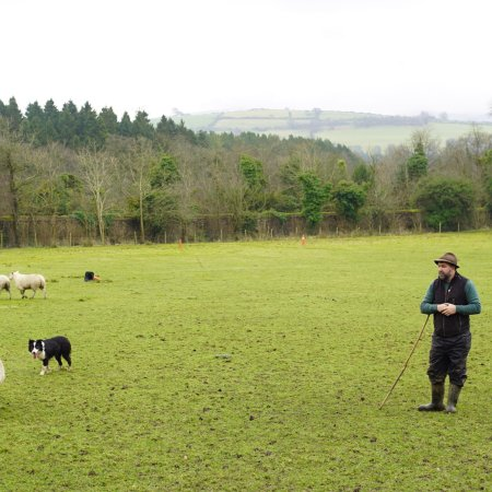 Irish Working Sheepdogs: photo4.jpg