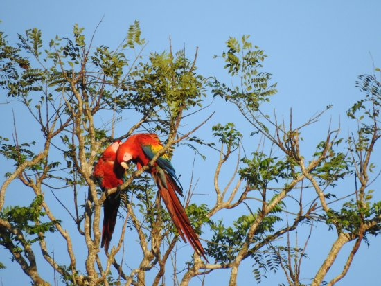 Drake Bay, Costa Rica: Some beautiful macaws, caught right as the sun was coming up on the birdwatching tour