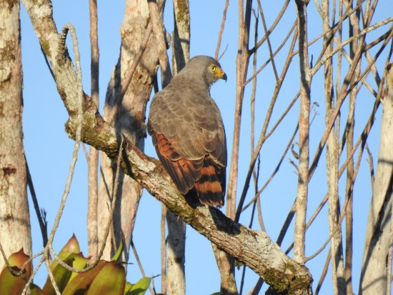 Drake Bay, Costa Rica: A juvenile raptor from the birdwatching tour
