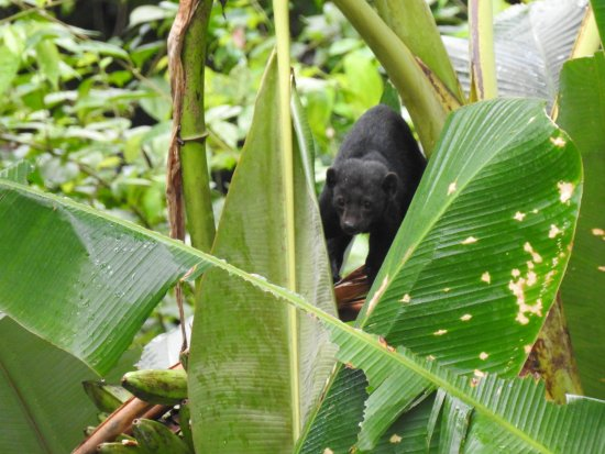 Drake Bay, Costa Rica: A tayra, spotted at Agujitas farm on the birdwatching tour.