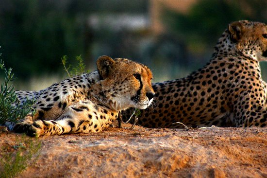 Cape Town, South Africa: Cheetahs on the Cape Cheetah Conservation program