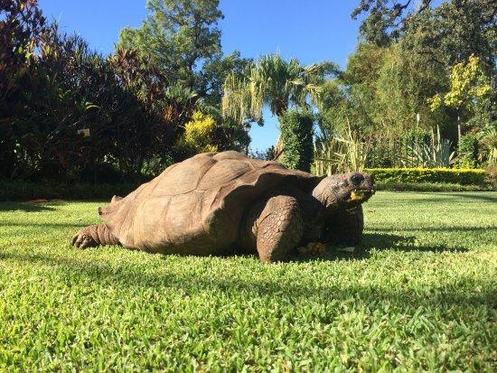 كوينتا جاردينز دو لاجو: A tartaruga centenária que vagueia pelos jardins do hotel.