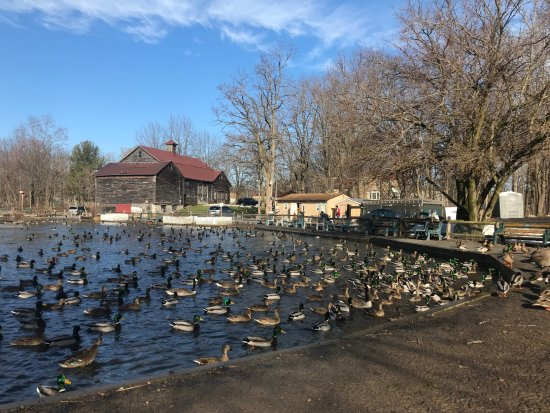 Webster Pond: Tons of ducks along the edge of the pond.