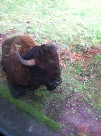 Eatonville, WA: Bison on the side of the road
