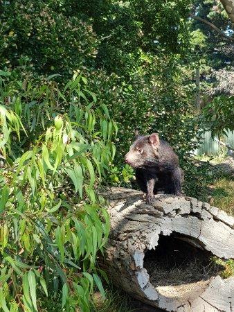 Phillip Island Wildlife Park: A tasmanian devil