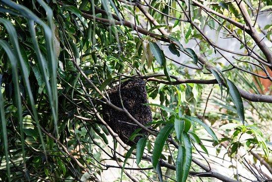 Wattala, Sri Lanka: wilde Bienen (harmlos, aber interessant)