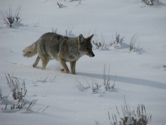 Yellowstone Safari Company: Coyotes, foxes & wolves! Saw 'em all but the wolves were too far away to take pictures,