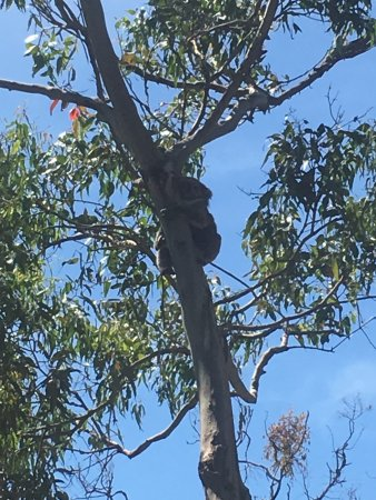 Cowes, ออสเตรเลีย: Have fun finding the Koalas in the tree