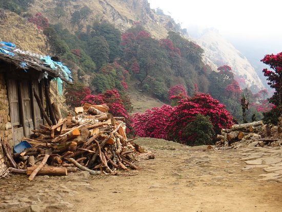 Khumbu, Nepal: Rhododendrons in April, Day 2 of the trek to Dobhan put-in