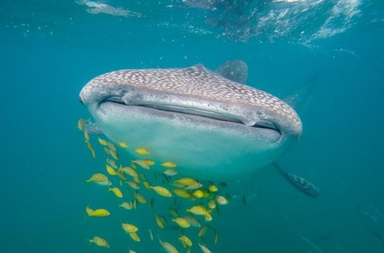 Private Whale Shark Snorkeling Tour...