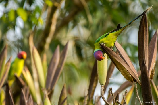 Pollibetta, India: Plum headed parakeets