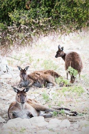 Kingscote, Australia: Regal roos