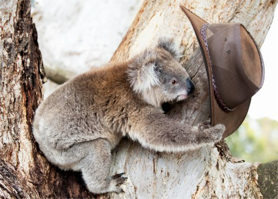 Kingscote, Australia: Curious Koala sniffing tour guide's hat when he was off getting him some water