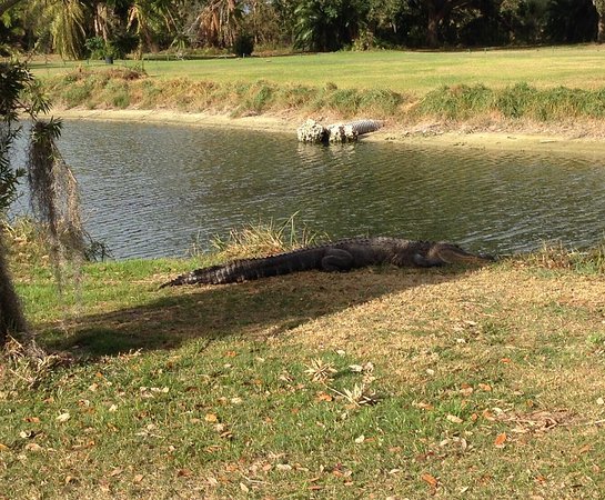‪‪Lehigh Acres‬, فلوريدا: Gator just off the fwy.‬