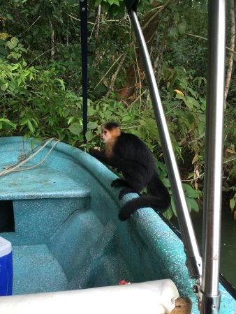 Manakin Adventures Panama: feeding monkeys peanuts during the Gatun lake fishing trip
