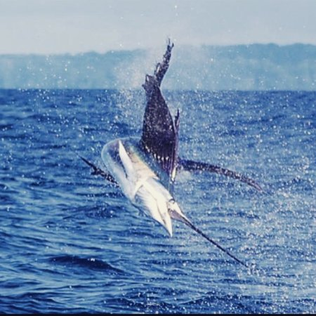 Drake Bay, Costa Rica: Sailfish